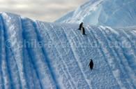Manchots à jugulaire sur les glaces