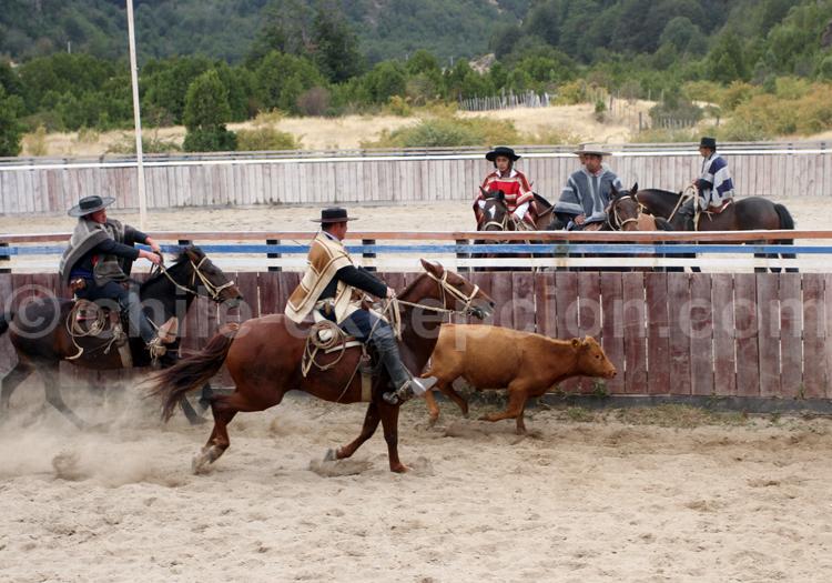 Le cheval chilien utilisé pour le rodéo