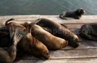 Otarie à fourrure australe, Lobo marino de dos pelos, Iquique