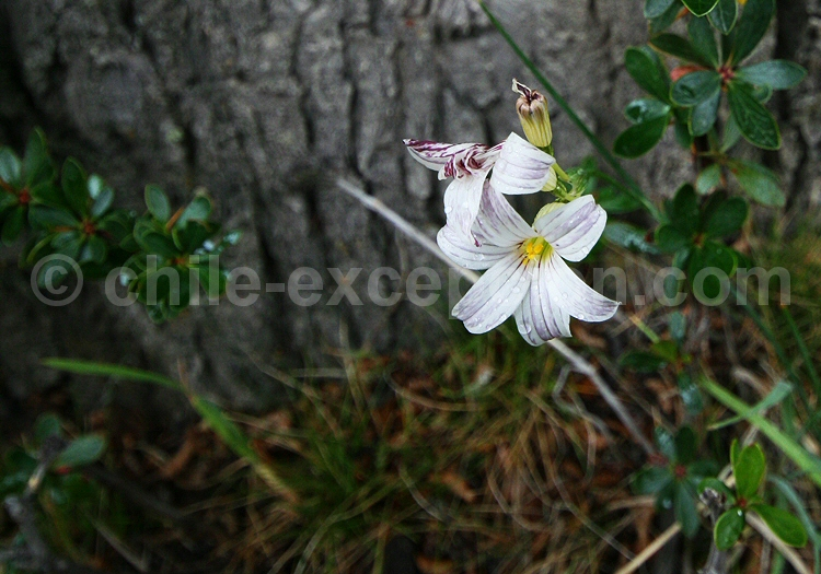 Iris © Pascale Pengam