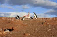 Monument naturel Los Pingüinos, île Magdalena. Crédit Kevin Silberman