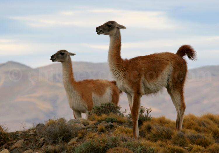 Guanacos, parc Torres del Paine, région de Magallanes