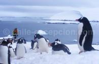 Manchots Papous, îles Shetland du Sud
