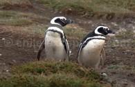 Punta Arenas, manchots de Magellan