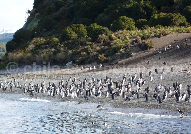 Croisière Australis, Manchots de Magellan, arrivée à Ushuaia