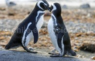 Manchots de Magellan, Punta Arenas