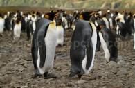 Le manchot royal, Pingüinos rey - Géorgie du Sud © Peter Akers