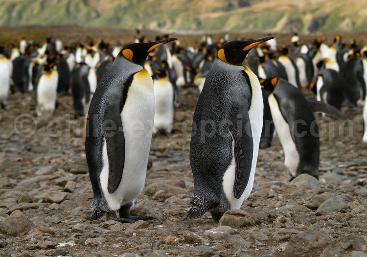 Le manchot royal, Pingüinos rey - Géorgie du Sud. ©Peter Akers