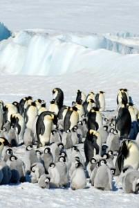 Colonie de manchots empereurs, Antarctique. ©Lynn Woodworth