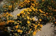 Nardophyllum bryoides - crédit Pascale Pengam