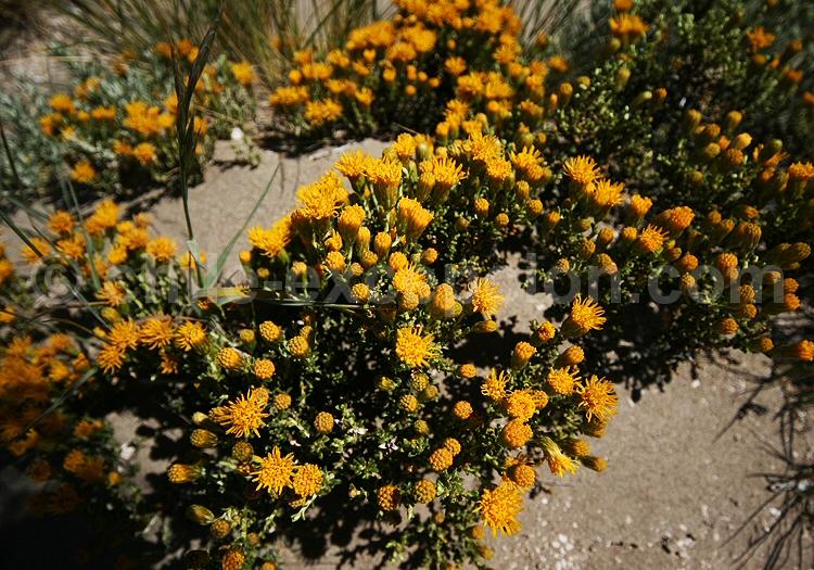 Nardophyllum bryoides © Pascale Pengam