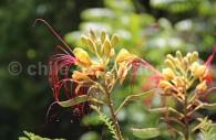 Oiseau de paradis jaune ou Barba de chivo - crédit Pascale Pengam
