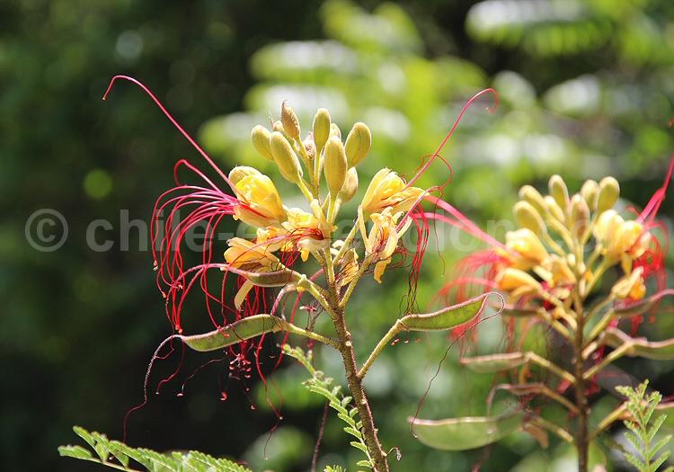 Oiseau de paradis jaune ou Barba de chivo © Pascale Pengam