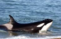 Orque, Orca. Crédit Estancia La Ernestina