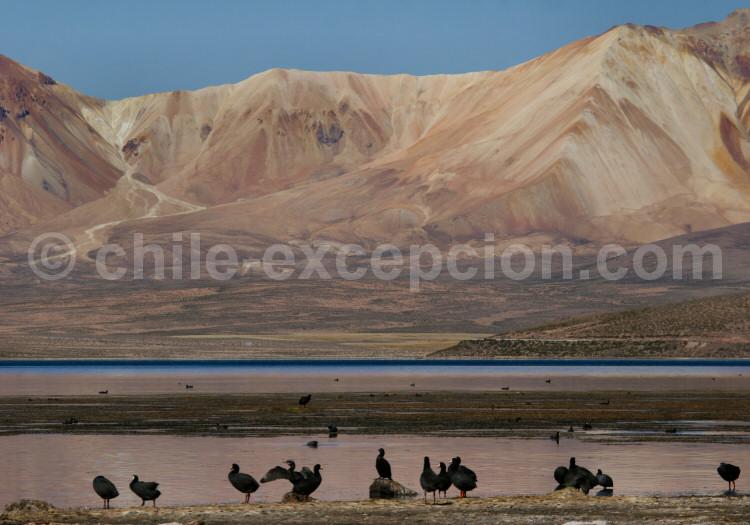 Réserve nationale Las Vicuñas, Chili