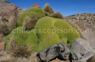 Llareta, Azorella compacta, désert d'Atacama