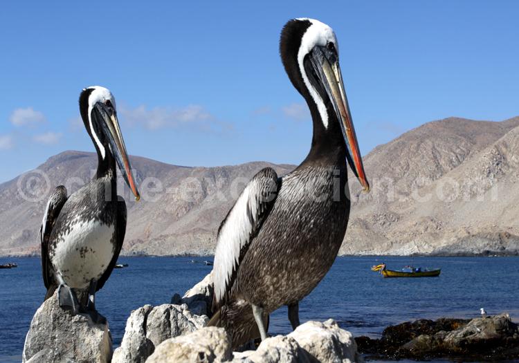 Pélican thage, pelicano peruano