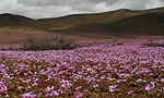 Flore Chili: plantes à fleurs chiliennes