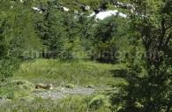 Puma, Parc Torres del Paine