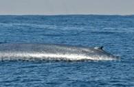 Baleine bleue, Rorcual azul. ©Jkirkhart35