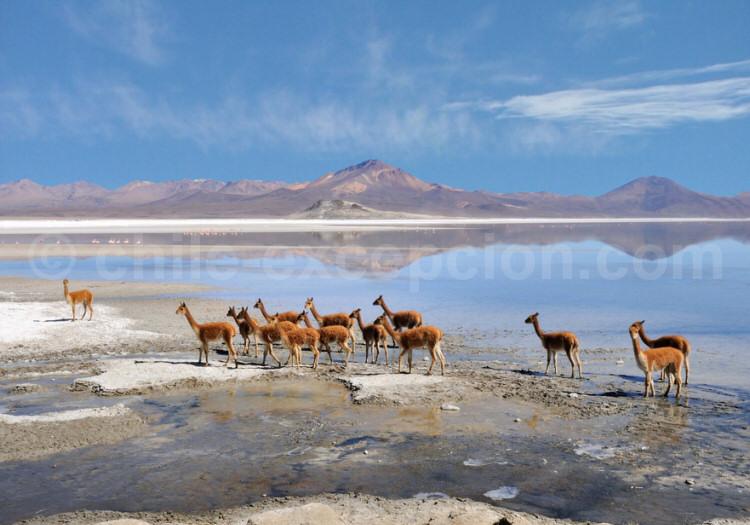 Tour du salar de surire, altiplano chilien