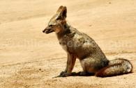 Renard gris, zorro gris ou chilla. Gentileza Sernatur III Región de Atacama