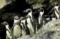 Manchot de Humboldt, Pingüino de Humboldt. Gentileza Sernatur III Región de Atacama