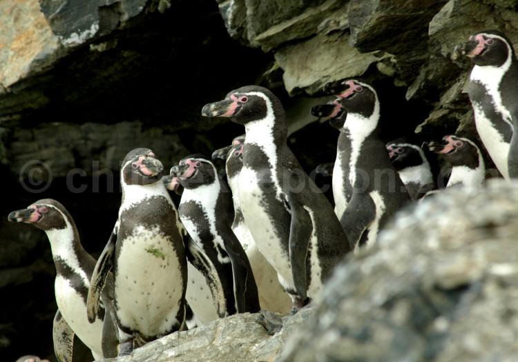 Manchot de Humboldt, Pingüino de Humboldt