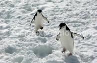 Manchots à jugulaire, îles Sandwich, Antarctique. ©headlessmonk