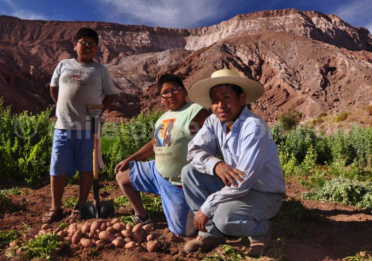 Cultivateurs aux environs de San Pedro de Atacama, cultivant la pomme de terre andine.