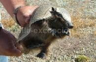 Tatou, Quirquincho ou peludo, dans les main du guide Ercio