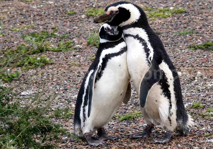 Manchot de Magellan, Pingüino de Magallanes