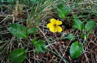Violette jaune ou Viola amarilla - crédit Pascale Pengam