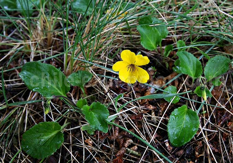Violette jaune ou Viola amarilla © Pascale Pengam