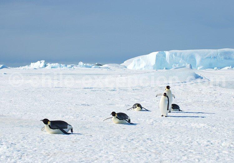 Manchots empereurs, Péninsule Antarctique. ©Lynn Woodworth