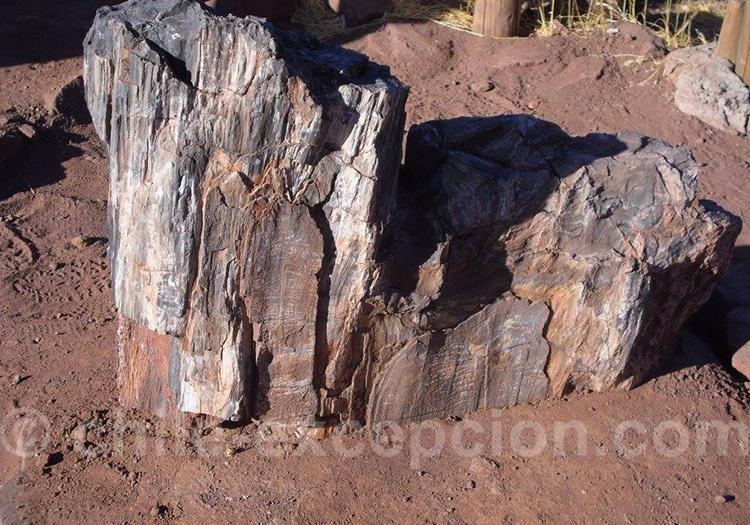 Arbre fossilisé à Pichasca