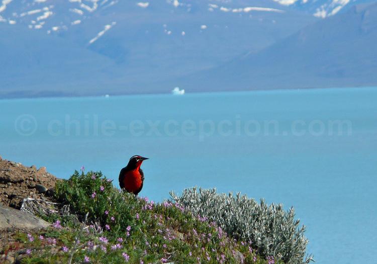 Un loica de Patagonie