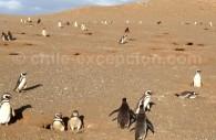 Des manchots de Magellan, sur l'isla Magdalena en Patagonie