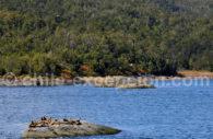 Eléphants de mer austraux