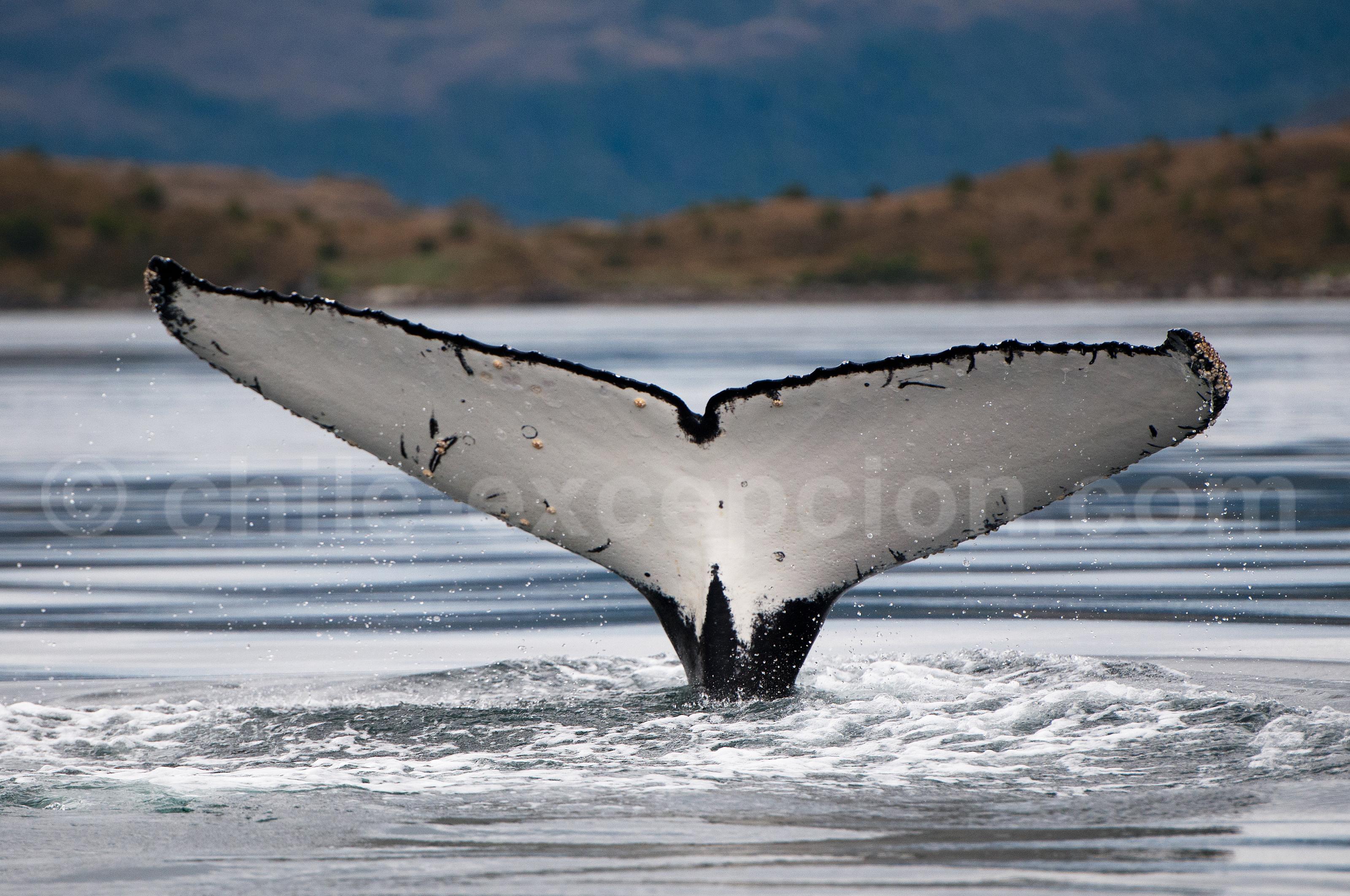 Baleine, détroit de Magellan © Luis Bertea