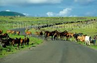 chevaux ile de paques