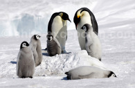 Famille de manchots empereurs – Crédit Polarnews