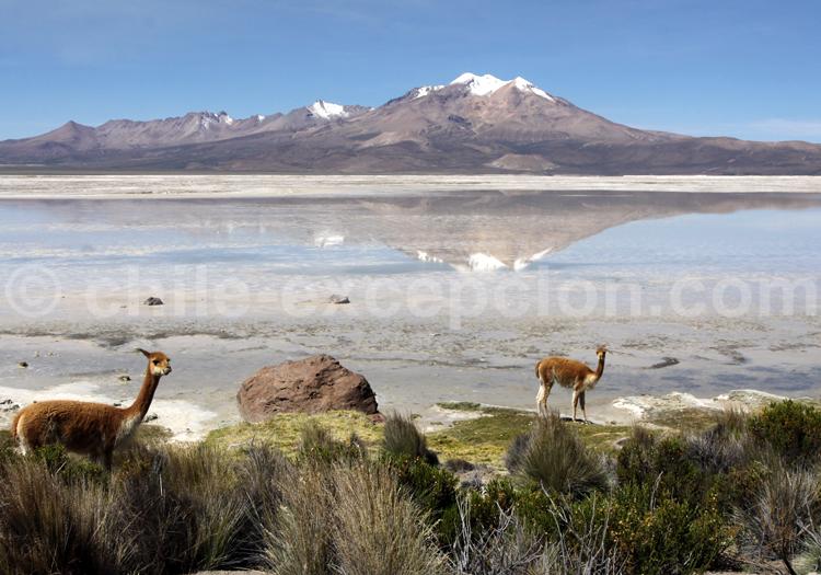 Alpagas, Salar de Surire au Chili