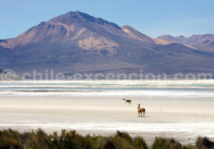 Faune, Salar de Surire, Chile