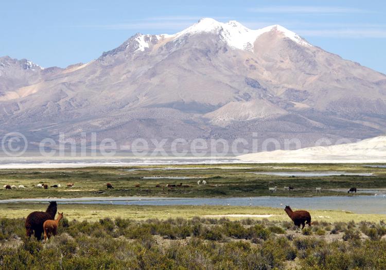 Safaris animaliers, Salar de Surire au Chili