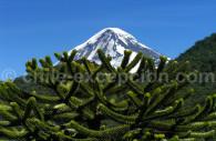 Volcan Lanín derrière un Araucaria