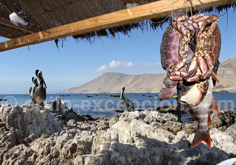 Crabe du Chili, Copiapo
