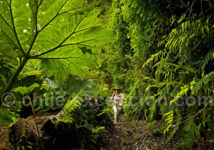Forêts de l'archipel Juan Fernandez