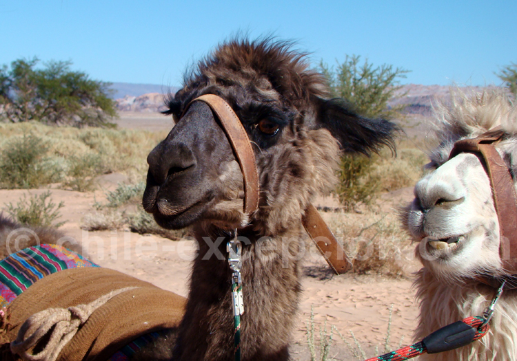 Lama de l'altiplano chilien