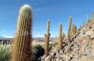 Cactus à Atacama